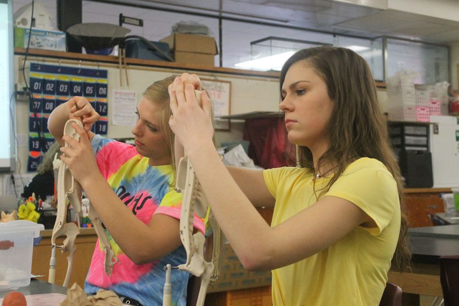 Junior Macy Lacinski and senior Michaela Caster improve their understanding  of the human body by molding muscles out of clay on a skeleton.
